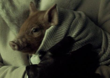 pavlov the pig